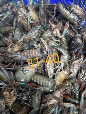 HIGH QUALITY - Lobster Air Tawar 31-40
