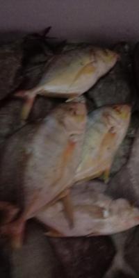 Ikan Kue Manggali