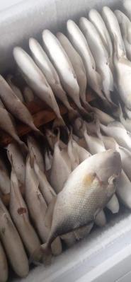 Ikan Entong
