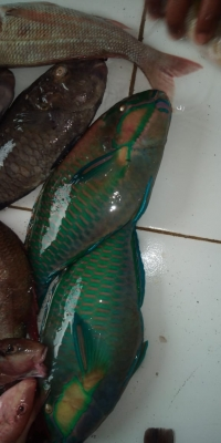Ikan Kaka Tua