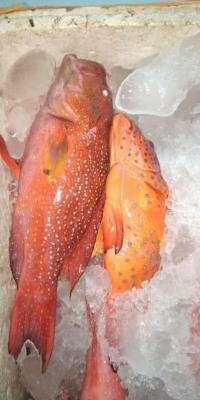 Ikan Kerapu Sunu Super