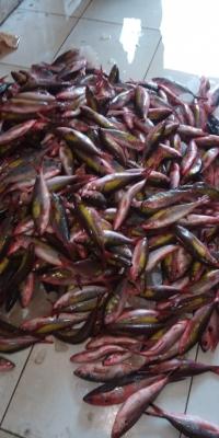 Ikan Pisang - Pisang