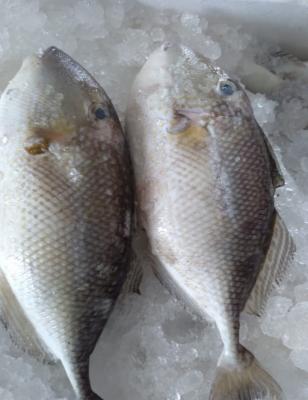 Ikan Etong