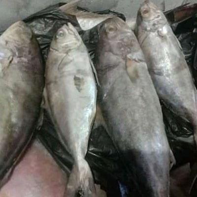Ikan Kanang