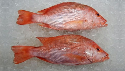 Ikan Kakap Merah Fresh/Segar